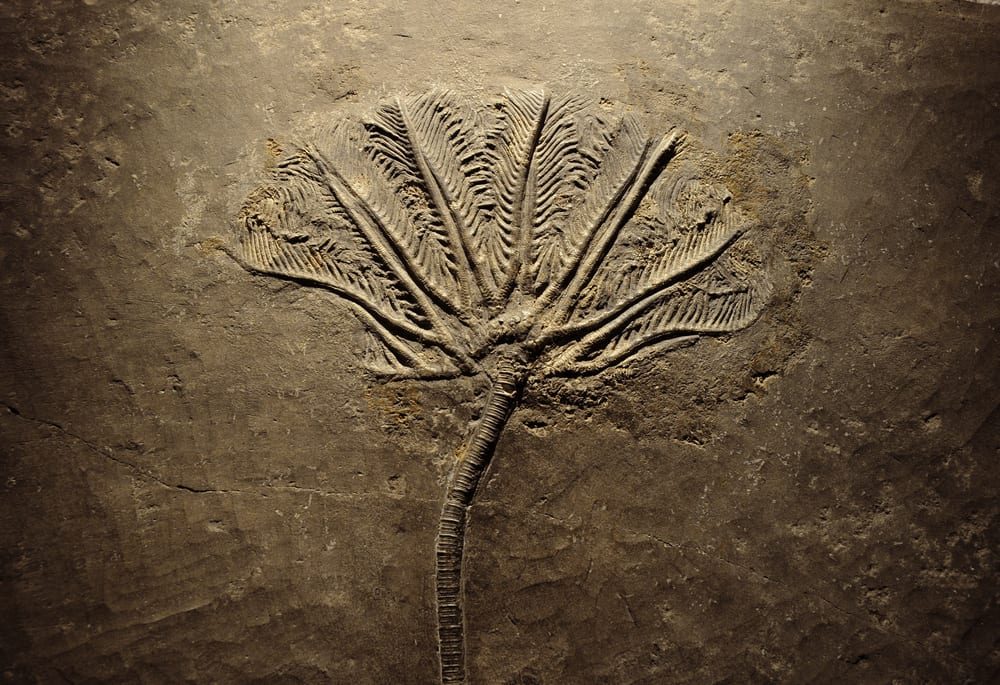 Example of a fern fossil