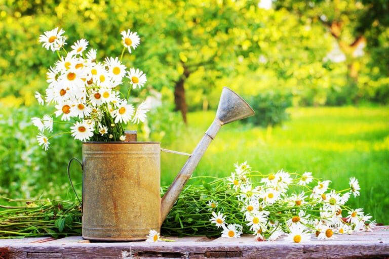 Watering can filled with daisies, outside on summer day